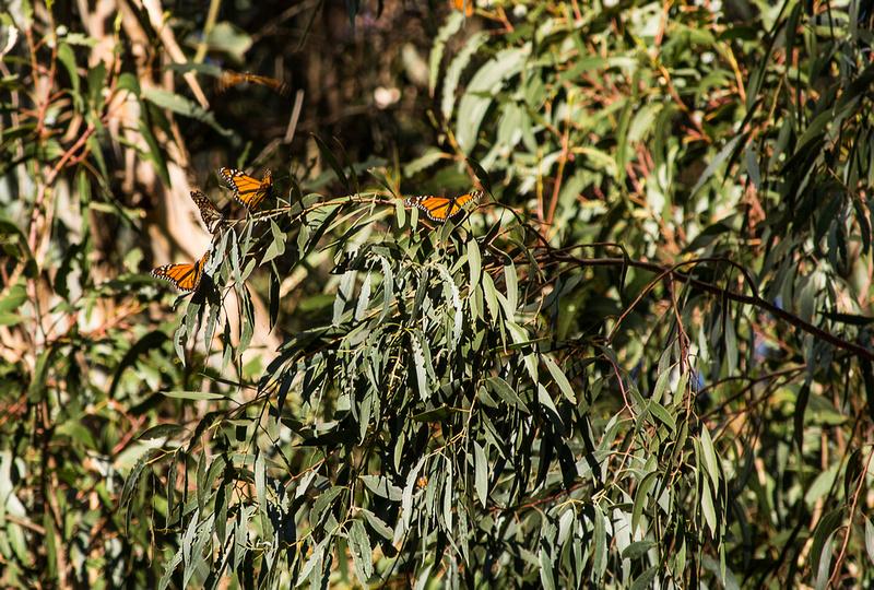 Monarchs, Natural Bridges State Beach
